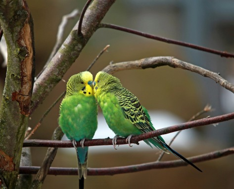 https://pixabay.com/en/budgerigars-pair-green-bird-659249/