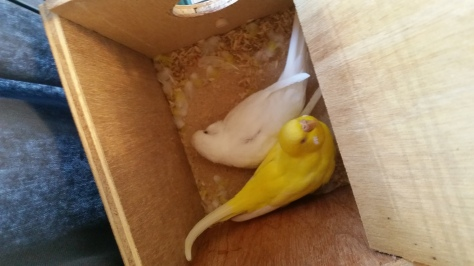 Siri and Soma in their nestbox