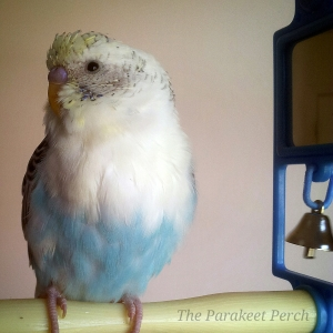 Segoe of The Parakeet Perch