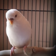 Albino budgie via The Parakeet Perch