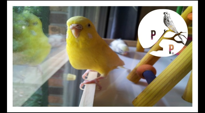Do Parakeets Make Good Pets?