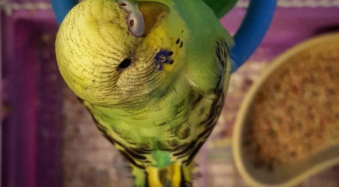 Soda Pop Birdie